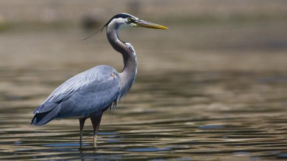 Image of Great blue herons are the largest wading bird in New Jersey. They stalk and catch prey by wading in water. They move very slowly and can easily catch fast moving prey with their long bill.