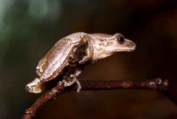 Image of A spring peeper.