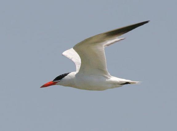 Tern bird note card