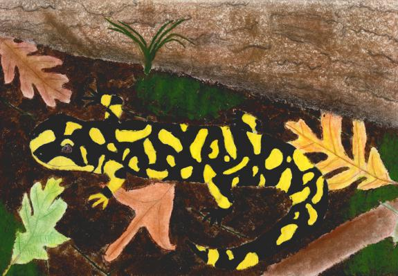 Image of Eastern Tiger Salamander. Atlantic County