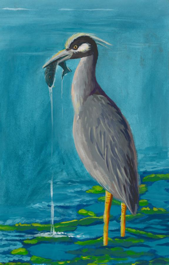 Image of Yellow-crowned Night Heron. Middlesex County.