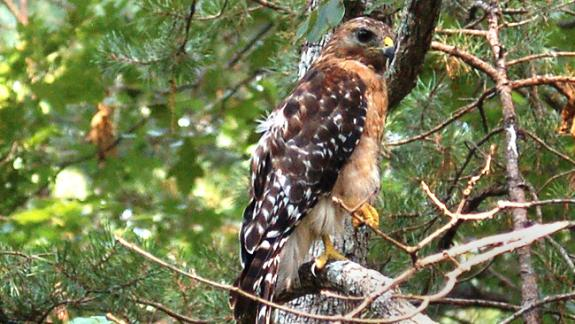 Image of Red-shouldered hawk.
