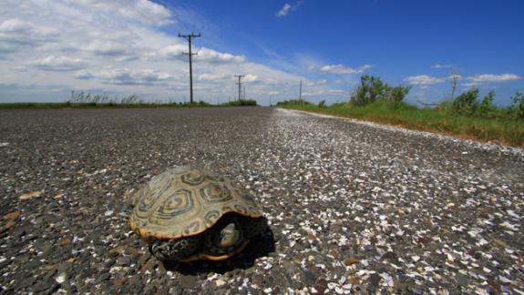 Image of A female terrapin hides in her shell as she attempts to cross Great Bay Blvd.