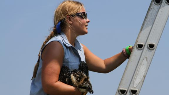 Image of Kristin Ryerson, CWF 2012 summer intern, climbs a ladder holding a juvenile osprey that fell from it's nest after a strong storm in late-June in Absecon, NJ.