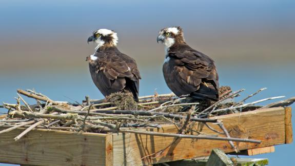 Image of A pair of ospreys perch on a nest repaired by Conserve Wildlife Foundation staff at Forsythe NWR in early 2012.