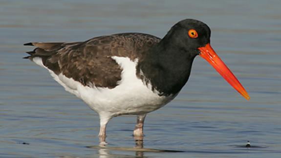 Image of American oystercatcher