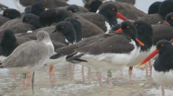 Image of American oystercatcher flock near Cedar Key, FL. Orange bands depict New Jersey birds.
