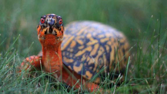 Image of Eastern box turtles are common backyard visitors in New Jersey though habitat destruction and illegal collecting are causing the population to decline.