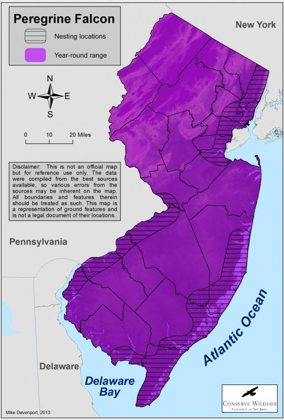 Zoom Range Of The Peregrine Falcon In New Jersey