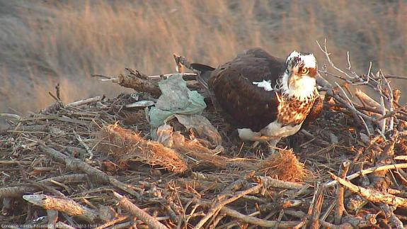 Image of Unbanded female at nest #2835.