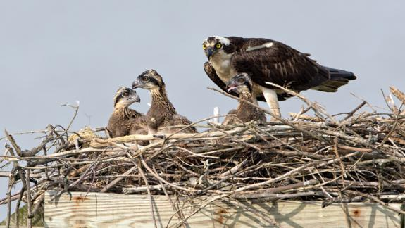 Image of Osprey young are very visible in nests once they reach 3 weeks of age, which is typically in late June.
