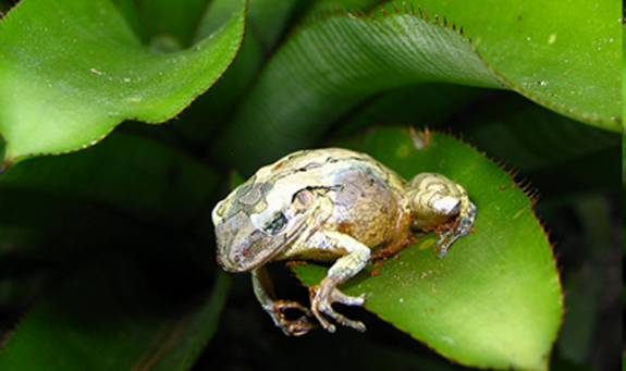Image of Frog infected by chytridiomycosis