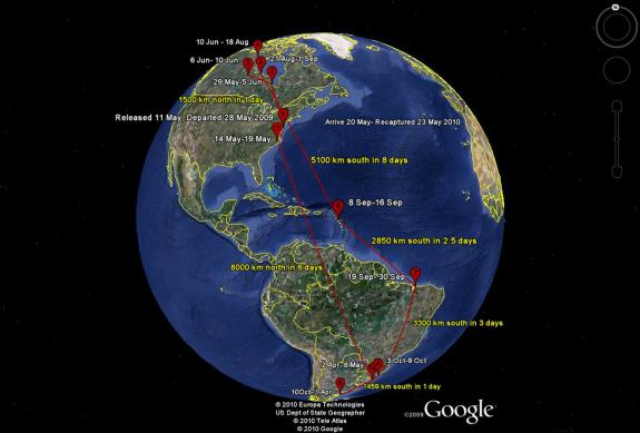 Image of This Google Earth map shows the migration route of red knot fitted with a geolocator.
