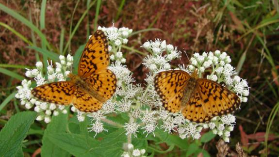 Image of Two Silver-bordered fritillaries feed on nectar.