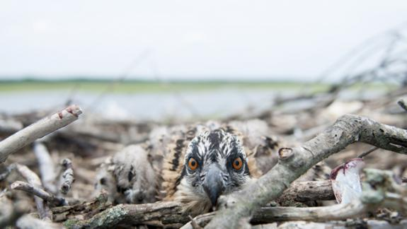 Image of With your support we can make sure that osprey nesting structures remain in good condition on the Jersey Shore.