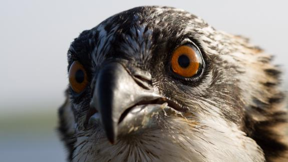Image of Juvenile ospreys have an orange iris which turns yellow when they reach adulthood.