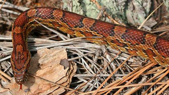 Image of Corn snakes are vibrantly colored.