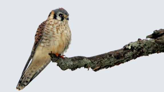 Image of An American kestrel perches on a branch.