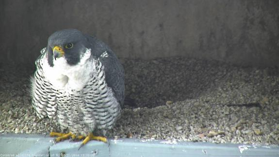 Image of *2/*6 male peregrine falcon.