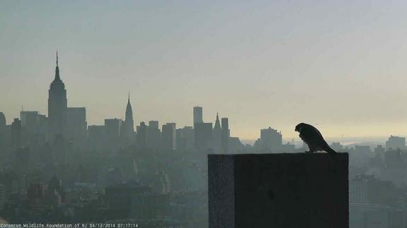 Image of A New Day, perhaps in more ways than one, at the Jersey City Falcon Cam.