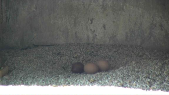 Image of A full clutch of donor eggs at the Jersey City peregrine falcon nest.