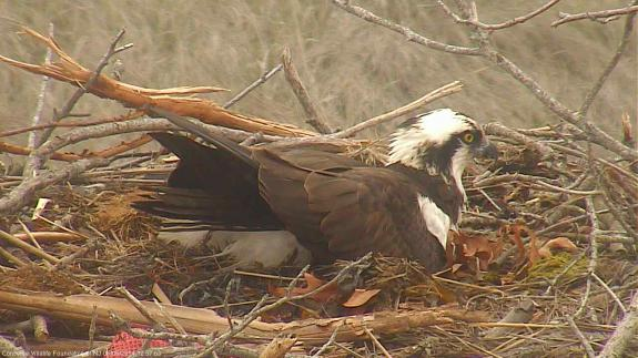 Image of The male incubates as the female takes a break to feed herself. Males do around 30% of incubation duties.