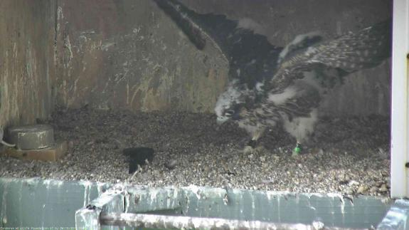 Image of The 36 day old female eyas strengthens her wing muscles by flapping! Lots and lots of flapping happening!