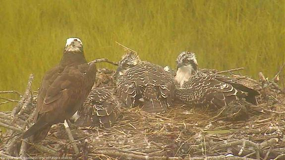 Image of The weary eyed 6 1/2 week old osprey nestlings. See the downy feathers in the nest?
