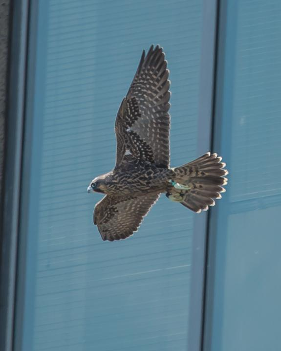 Image of Ivy (79/AN) soaring by a skyscraper in Jersey City.