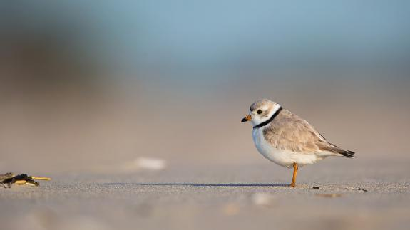 Image of Piping plovers are listed as endangered in New Jersey.