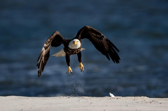 """Image result for eagles long beach island new jersey bald"""""""