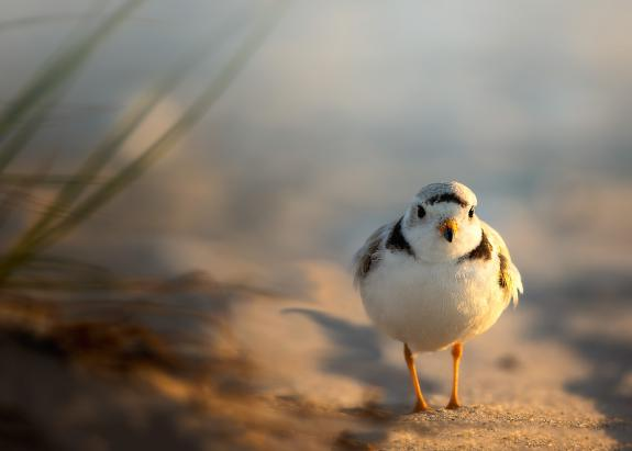Image of Piping plovers breed on barrier islands and beaches from Sandy Hook to Cape May.