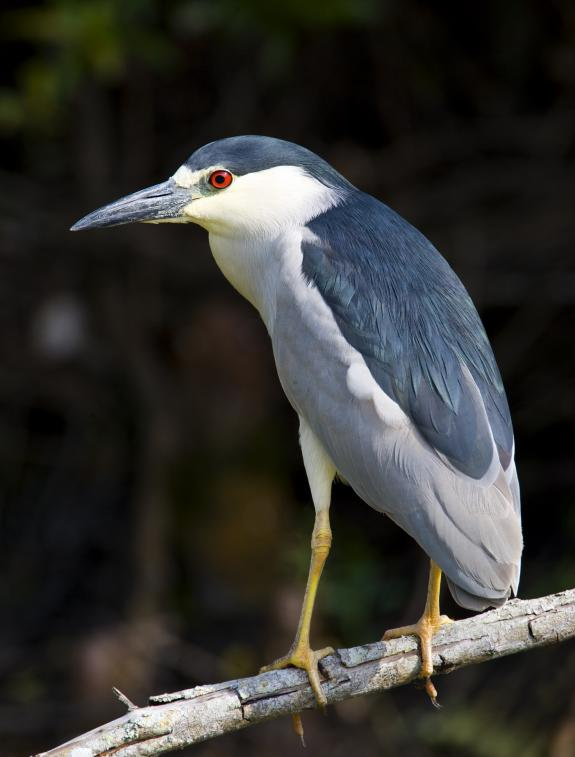 Night Heron Protected Species