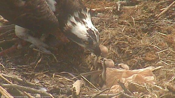 Image of Three hatchlings being fed on 5/28/15. We lost connection with the camera yesterday but it magically came back online this moring. The third egg must of hatched early this morning.