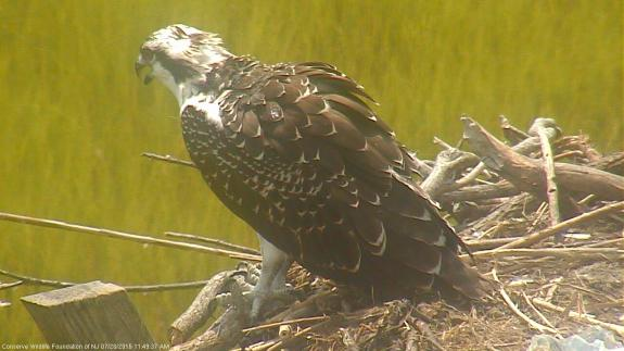 Image of An osprey fledgling sits on the nest.