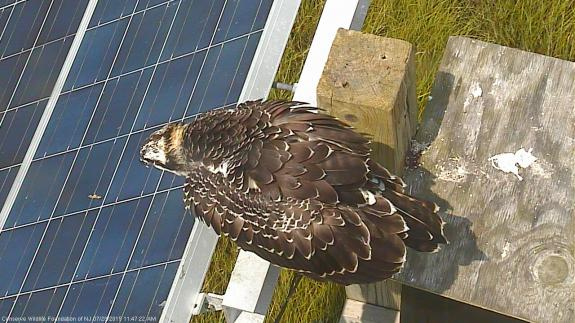 Image of Another fledgling preening on the solar panel array.