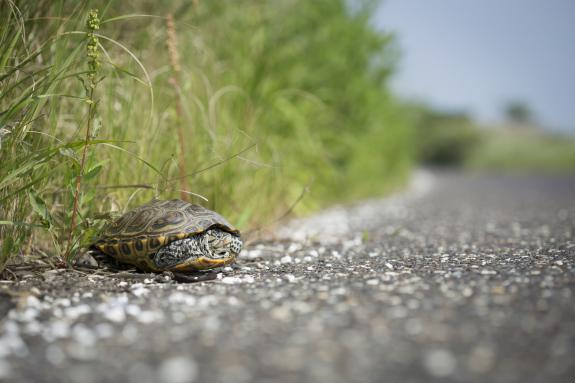 Image of Life on the Edge: A female terrapin waits for a chance to cross Great Bay Blvd.