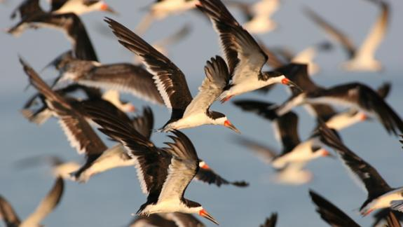 Image of Black skimmers in flight.