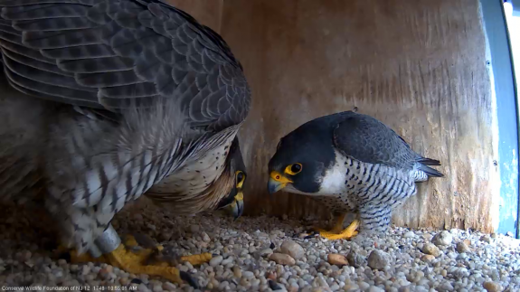 Image of The nesting pair at 101 Hudson St. Jersey City, NJ. This is a new pair since 2015.