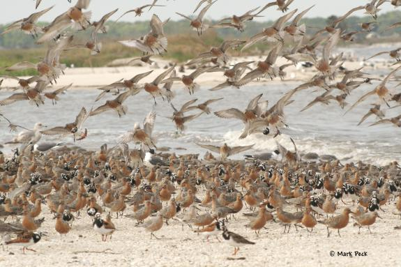 Image of Red Knots and Ruddy Turnstones.