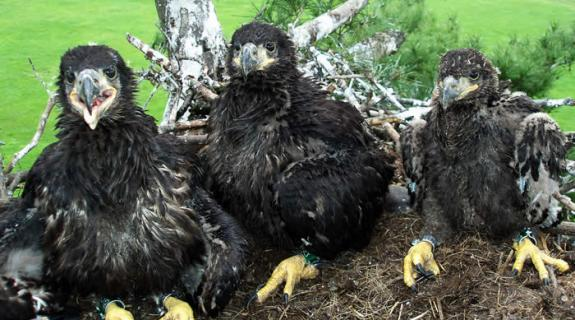 Image of All smiles... banded Bald eagle chicks in their nest in Princeton Township.
