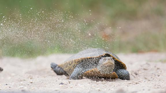 Image of An adult female terrapins begins digging her nest along the side of a busy road. Little Egg Harbor, NJ.