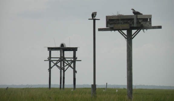 Image of Some of our neighbors at the Sedge Island Natural Resouce Education Center. Ospreys in the foreground, peregrine falcon platform in the background.