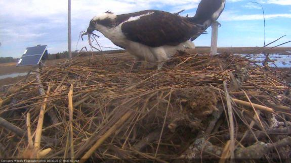 Image of The male adds nesting material to the nest on 3/30/17.