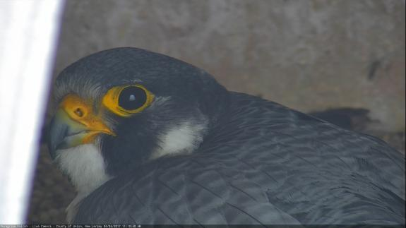 Image of The male peers out the nestbox while incubating two eggs.