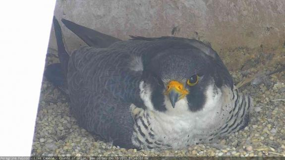 Image of The male continues to incubate two eggs.