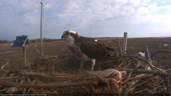 Image of When the female stays close to the nest bowl, we know eggs will be coming soon...