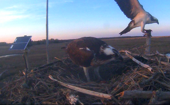Image of The female gives us a quick view of egg #1 ~ 7:15pm on April 19.