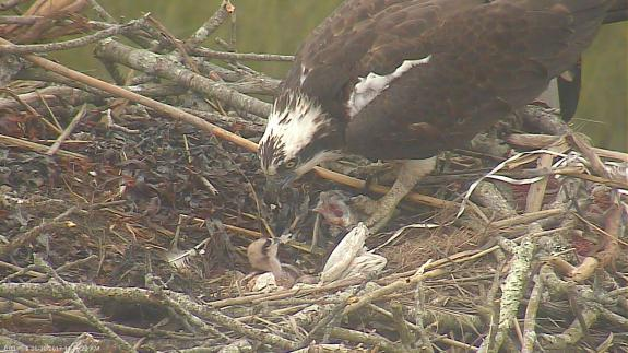 Image of Feeding time on May 30, 2017. The first young hatched on May 29 and the second hatched a day later.