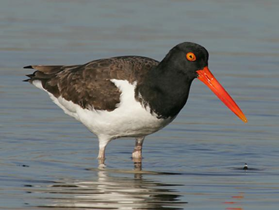 Image result for Oyster catchers